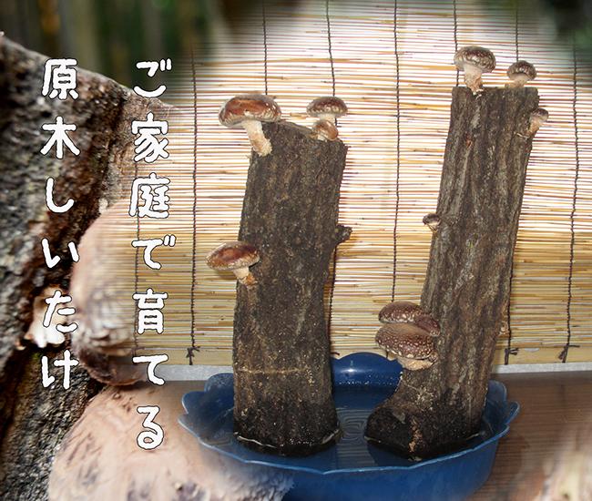 肉厚な椎茸をご自宅で収穫できる原木の販売。|株式会社あおむし(福岡県苅田町)