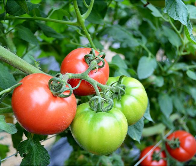 こだわり高糖度トマト|ウイングファーム(福岡県みやこ町)
