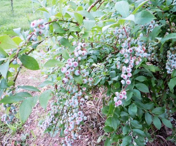 ブルーベリーの収穫&いよいよ【桃パフェ】が始まります!!|フルーツ工房えふ・松木果樹園(福岡県)
