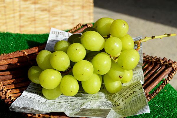 自然の中で育てたシャインマスカットはとても甘くて美味しいです。|野見山ぶどう園(福岡県宮若市)