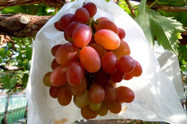 matuki_grape