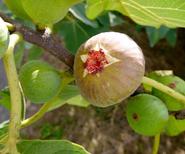いちじく蓬莱柿の販売は10月末まで|末永果樹園(福岡県)