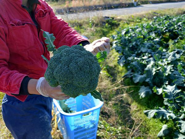2015fujikawa-broccoli2