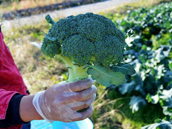 今が旬 !!  新鮮なブロッコリーをお届けします。|藤河農園(福岡県みやこ町)