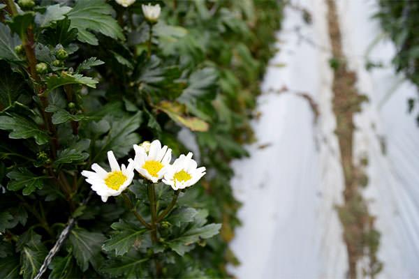 春の菊・各種を全国通販いたします。|藤河農園(福岡県みやこ町)