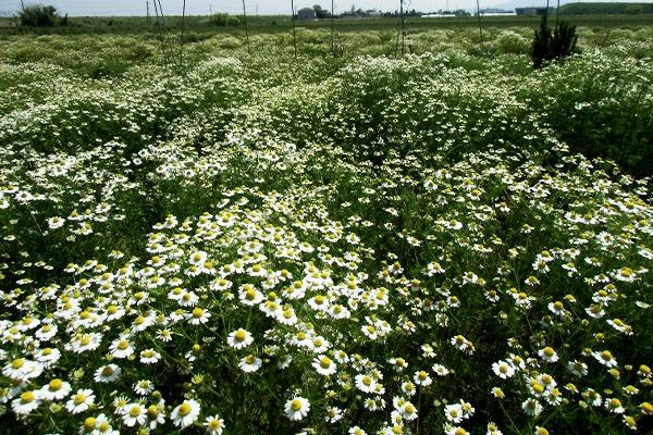 【無農薬・有機肥料栽培】カモミール狩り|熊本ハーブ園レモングラス(熊本県宇土市)