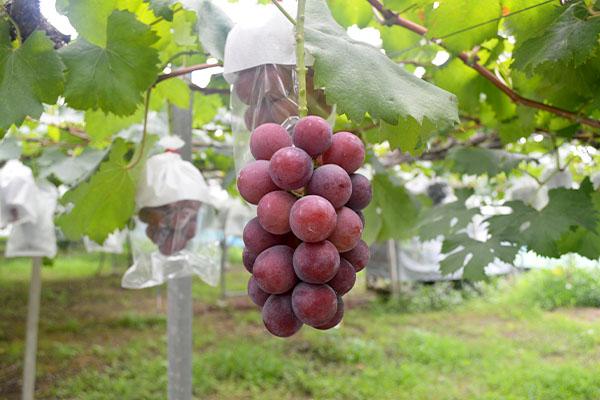 7月10日に園直売所のオープンします。|藤島農園(福岡県宮若市)