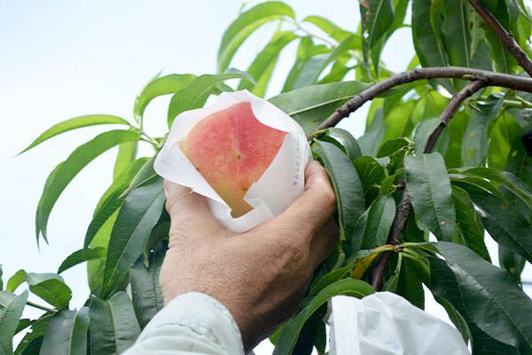 味わいまさに極上。【清水白桃】完売いたしました。|末永果樹園(福岡県行橋市)