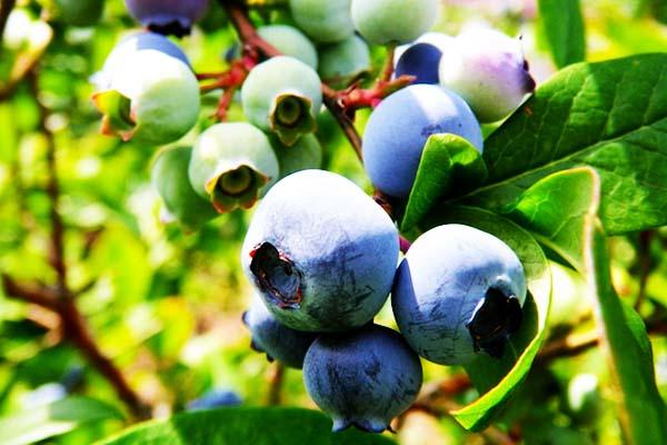 ブルーベリーの旬 ブルーベリーの時期 – 九州のフルーツ