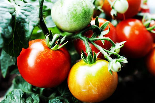 トマトの旬 とまとの時期 – 九州の野菜