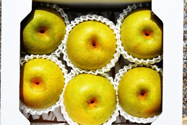 希少な梨、菊水梨の収穫が始まりました。末永果樹園