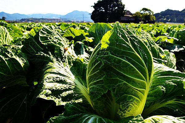 ブロッコリーと白菜の出荷が始まりました。|藤河農園(福岡県みやこ町)