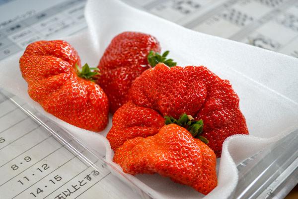 特大粒のあまおうを収穫しています|添田ぶどう・いちご園