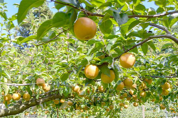梨狩りのお知らせとオススメの梨、ぶどう|藤島農園(福岡県宮若市)