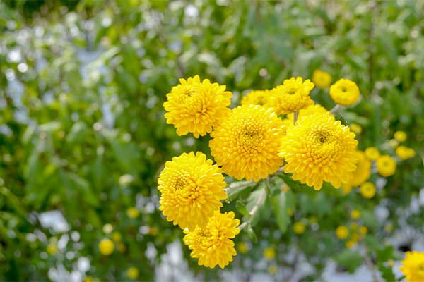 ポンポン菊・黄色