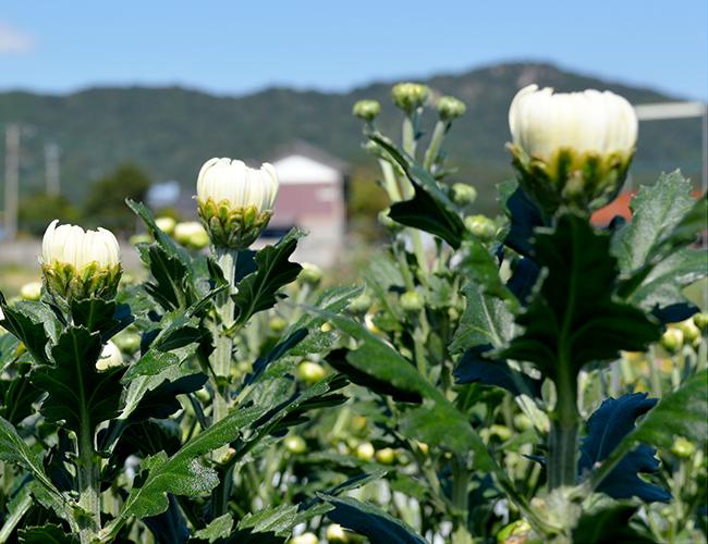 春の彼岸向け【輪菊とスプレー菊】のご予約受付開始|藤河農園(福岡県みやこ町)