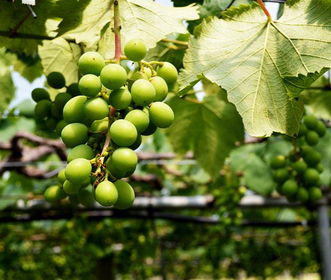 ぶどうの収穫を7月20日頃に予定しています。 添田いちご・ぶどう園(福岡県鞍手町)