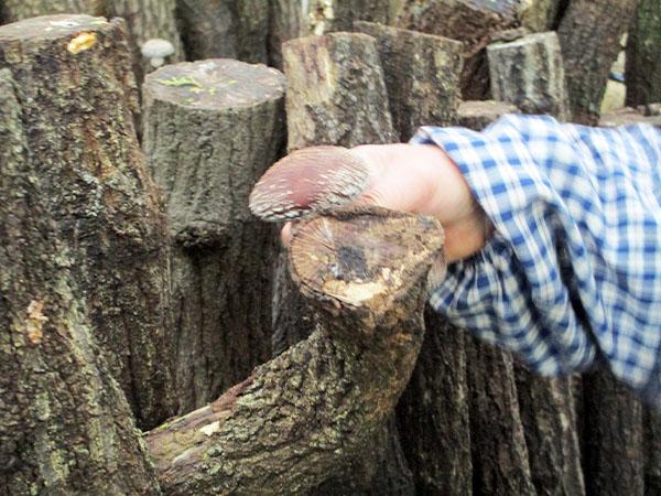肉厚で味も香りも抜群【原木椎茸】の【原木】全国へ発送しています。|株式会社あおむし農産物生産販売所