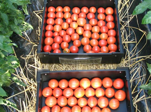 糖度と酸味のバランスのとれた、旨みのあるトマト|ウイングファーム(福岡県みやこ町)