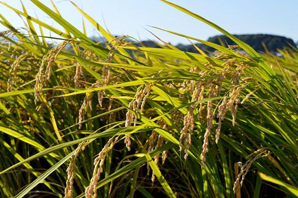 福岡県産米をご家庭へ。農家直送でお届けいたします。|野見山ぶどう園(福岡県宮若市)