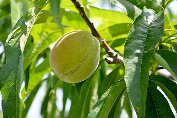 桃の旬を迎えます。|末永果樹園(福岡県行橋市)