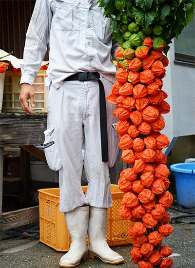 お盆の飾りつけにどうぞ【ほおずき灯ろう】|藤河農園(福岡県みやこ町)
