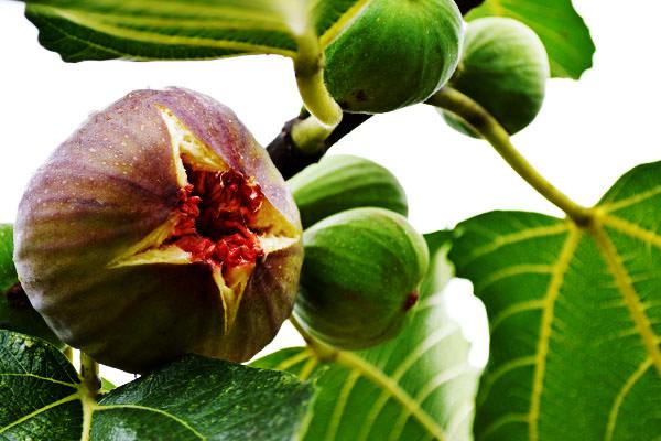 お待たせいたしました。いちじく【蓬莱柿】の出荷始まりました。|末永果樹園(福岡県行橋市)