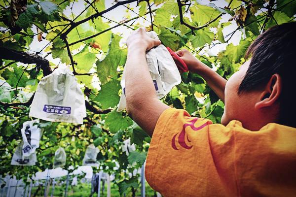 果物狩り始まりました。|藤島農園(福岡県宮若市)