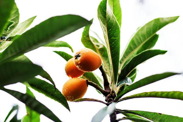 ビワ 枇杷 びわの旬 – 九州のフルーツ