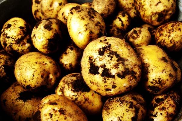じゃがいも ジャガイモの旬 時期 – 九州の野菜