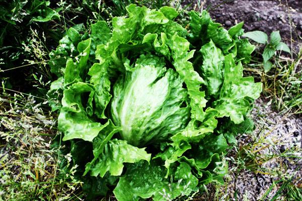 レタスの旬 時期 通販 – 九州の野菜