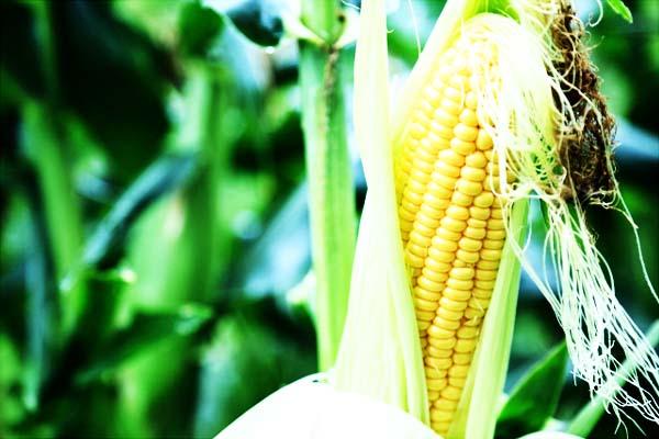 とうもろこしの旬 トウモロコシの時期 – 九州の野菜