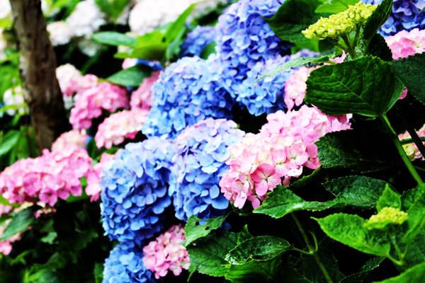 福岡で見事な紫陽花(あじさい)が見れる名所 10選 |2017年