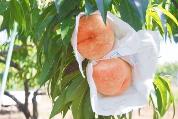 桃 川中島の収穫が始まりました。|末永果樹園