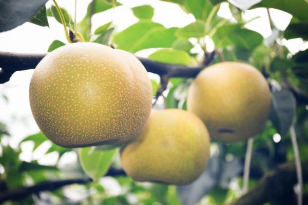 梨 幸水の収穫が始まります。|末永果樹園