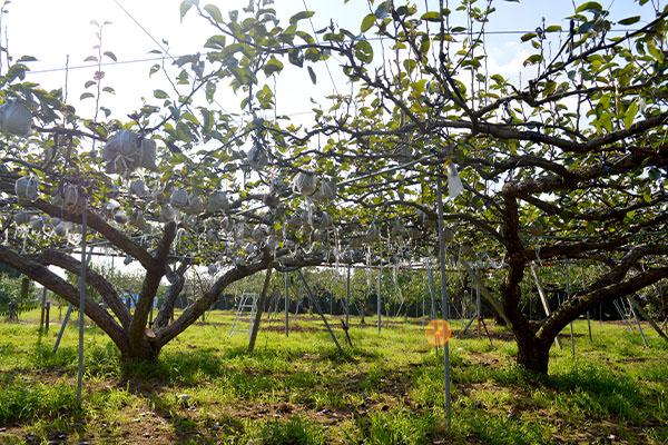 愛宕梨の収穫が始まりました。|末永果樹園(福岡県行橋市)