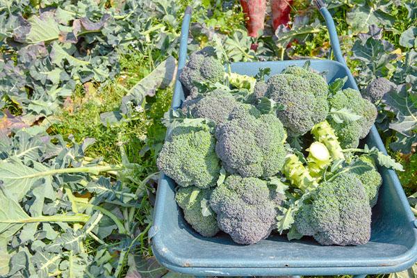 新鮮なブロッコリーをお届けしています。|藤河農園(福岡県みやこ町)