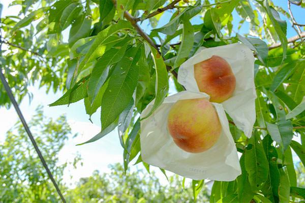 桃の出荷、始まりました|末永果樹園(福岡県行橋市)