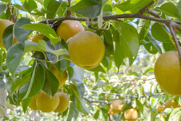 梨狩りのお知らせ。|藤島農園(福岡県宮若市)