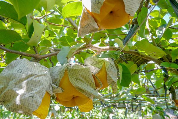 新高梨が出始めました。|末永果樹園(福岡県行橋市)