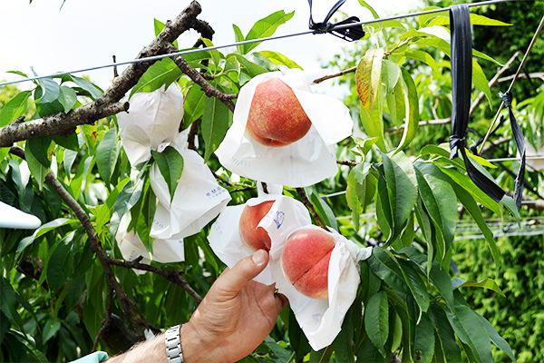 桃、あかつきの収穫が始まります。|末永果樹園(福岡県行橋市)