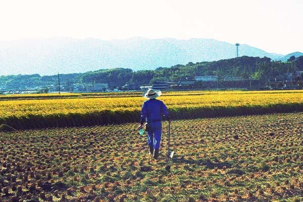 田んぼの中、稲刈り