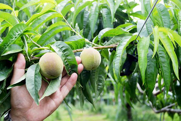 桃といちじく夏果出荷のお知らせ。|末永果樹園(福岡県行橋市)